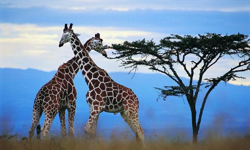 谁又会相信长颈鹿的祖先是短脖子的矮个子呢?